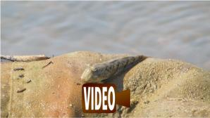 Mudskipper - Periophthalmus sp.