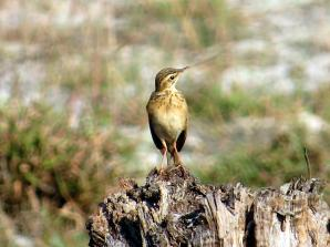 Paddyfield Pipit - Anthus rufulus