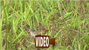 White-browed Crake, feeding, ricefields behind Hai Thanh, Dong Hoi-16apr15